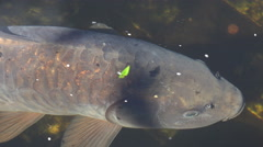 Close up of carp swimming in ornamental garden pond Stock Footage