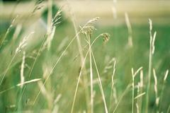 Long stems of grass - stock photo