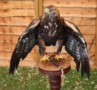 A magnificent golden eagle raptor Stock Photos