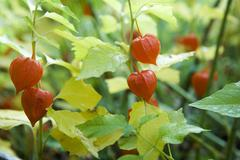 Stock Photo of Chinese lantern (Physalis alkekengi)