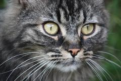 a very cute long haired brown and black tabby pussycat with long whiskers and - stock photo