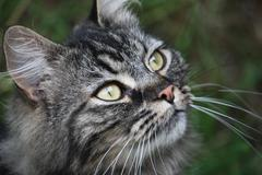 very cute long haired tabby pet pussycat - stock photo
