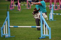 A working type english springer spaniel pet gundog jumping an agility jump Stock Photos