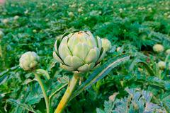 Artichokes field in murcia ameria region spain Stock Photos