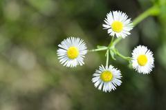 Daisy fleabane (Erigeron annuus) Stock Photos