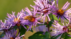 Bees on Flowers Closeup Stock Footage