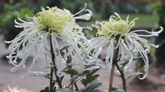 Stock Video Footage of White thorn Chrysanthemum