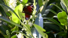 Peacock butterfly Stock Footage