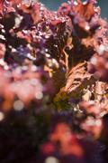 Merlot lettuce, extreme close-up - stock photo