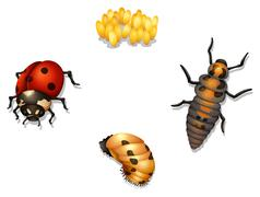 ladybug life cycle - stock illustration