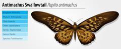 Giant African Swallowtail - stock illustration