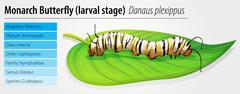 Monarch butterfly - Danaus plexippus - larva stage - stock illustration