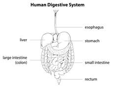 Human digestive system - stock illustration