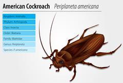 Periplaneta Americana- Cockroach - stock illustration
