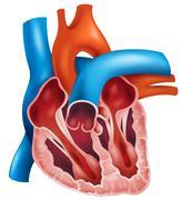 Heart cross-section - stock illustration