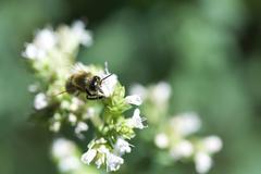 European Dark bee (apis mellifera mellifera) gathering pollen from white flowers Kuvituskuvat