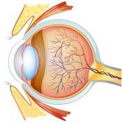 Human eye cross section - stock illustration