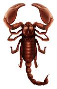 Scorpion - Buthus genus Stock Illustration