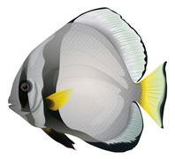 Orbicular batfish Stock Illustration