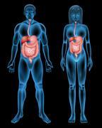Digestive system Stock Illustration