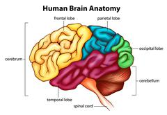 The human brain - stock illustration