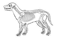 Dog skeleton outline Stock Illustration