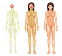 Nervous system of a woman Stock Illustration
