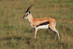 A male Thomsons gazelle Stock Photos