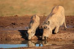 A pair of warthogs drinking water Stock Photos