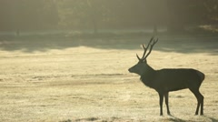 Stag in Richmond Park Stock Footage