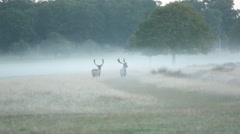 Small herd of deer in Richmond Park Stock Footage