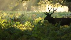 Wild stag in Richmond Park Stock Footage