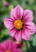 Stock Photo of Dahlia, Northwest Cosmos