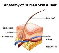 Anatomy of Human Skin and Hair Stock Illustration