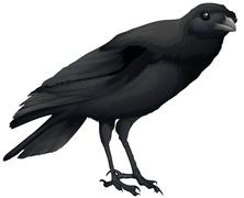A crow Piirros
