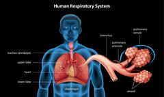Respiratory System - stock illustration