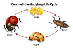 Ladybug - stock illustration