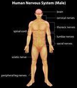 Human nervous system - stock illustration