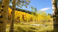 Aspen Forest 11 Tilt Up Fall Foliage in Grand Canyon North Rim USA Footage
