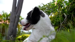 Cute Dog Resting Outdoors. Slow Motion. Stock Footage