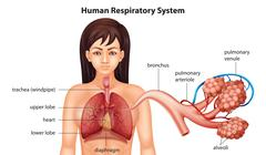 Female human respiratory system - stock illustration