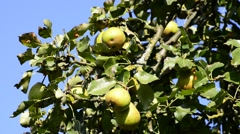 Pears for cider at a tree Stock Footage