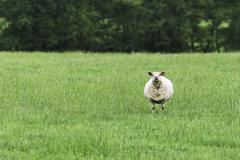 Solitary sheep in field - stock photo