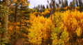 Aspen Forest 15 Pan R Fall Foliage in Grand Canyon North Rim USA HD Footage