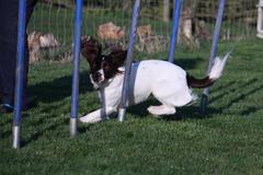 working type english springer spaniel pet gundog agility weaving - stock photo