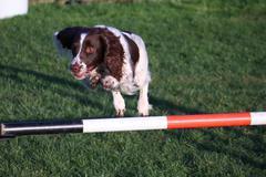 Working type english springer spaniel pet gundog jumping an agility jump Stock Photos