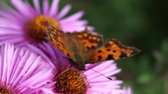 Butterfly on Michaelmas daisy. Stock Footage