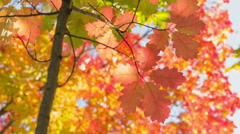 Small red oak with bright leaves, autumn time Stock Footage