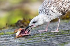 seagull eating fish head - stock photo