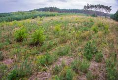 Cultivation of pine - young forest Stock Photos